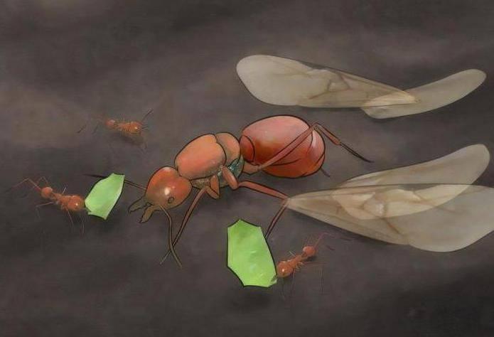 Матка домашних муравьев — как она выглядит и где искать?