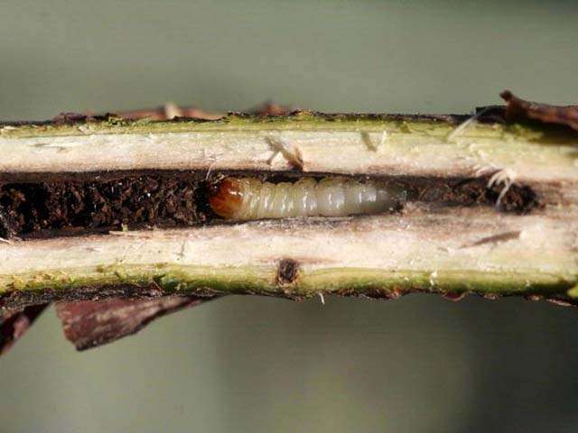 Личинки каких насекомых могут оставить вас без урожая