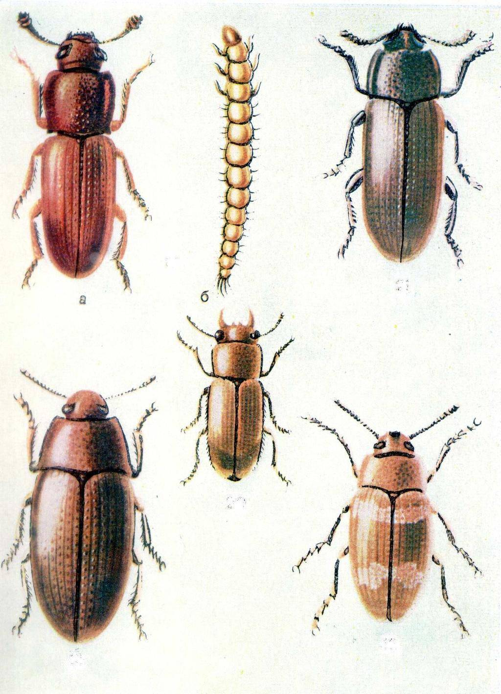 От каких жуков в огороде обязательно нужно избавляться: топ-7 вредителей