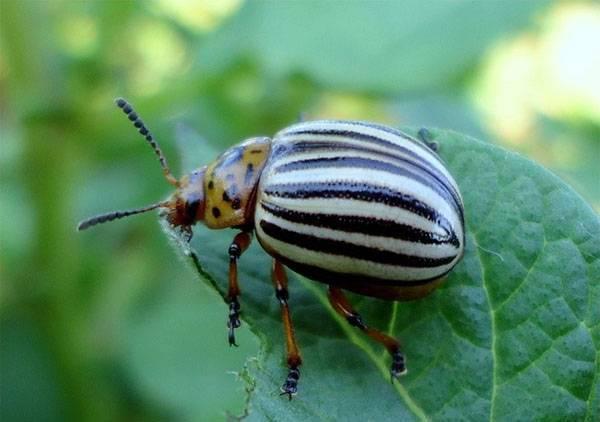 Универсальное средство быстрого действия престиж от колорадского жука и грибковых инфекций
