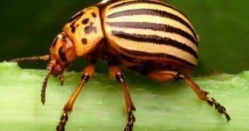 Корадо от колорадского жука: инструкция по применению на огороде
