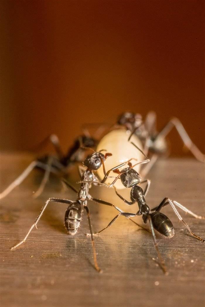 Как избавиться от муравьев в теплице?