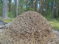 Как муравьи готовятся к зиме?