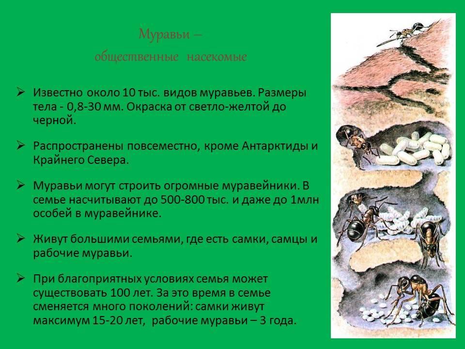 Муравей — описание, виды, особенности