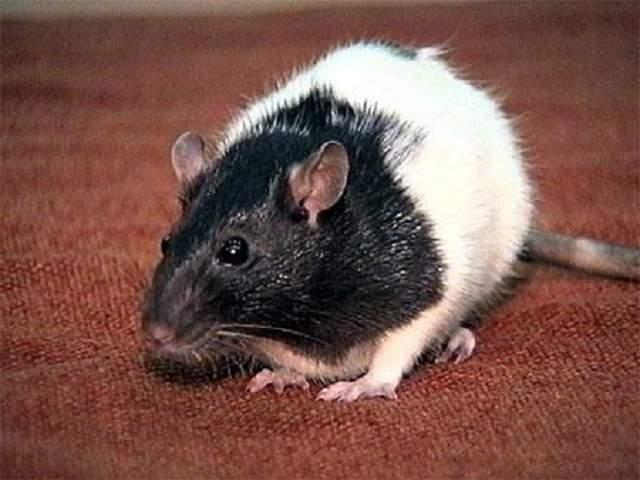 Крысы и мыши в доме: как отличить какашки крысы, чем они опасны