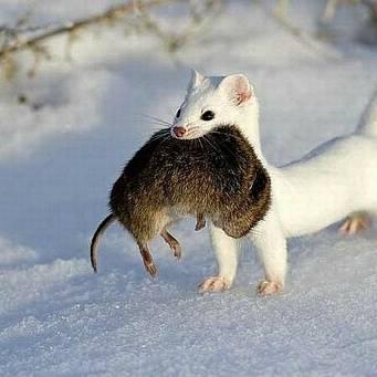 Следы крысы на снегу — фото и описание