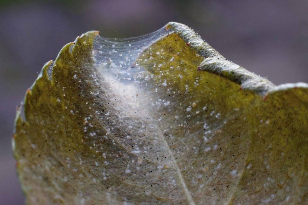 Как избавиться от паутинного клеща на баклажанах, томатах и перце?