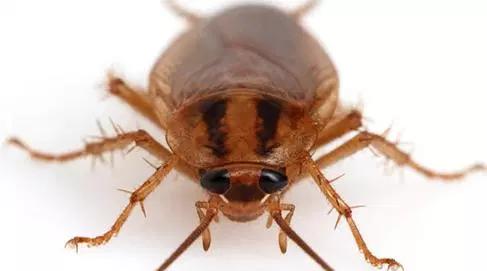 Рыжий таракан может быть истреблен немедленно, быстро и решительно!