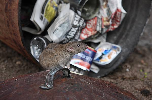 Крыса может напасть на человека спящего?