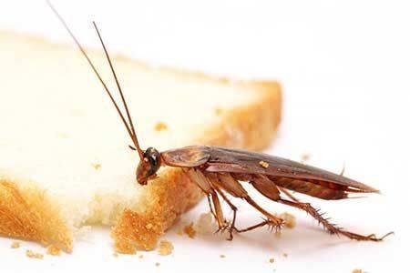Нашатырный спирт от тараканов