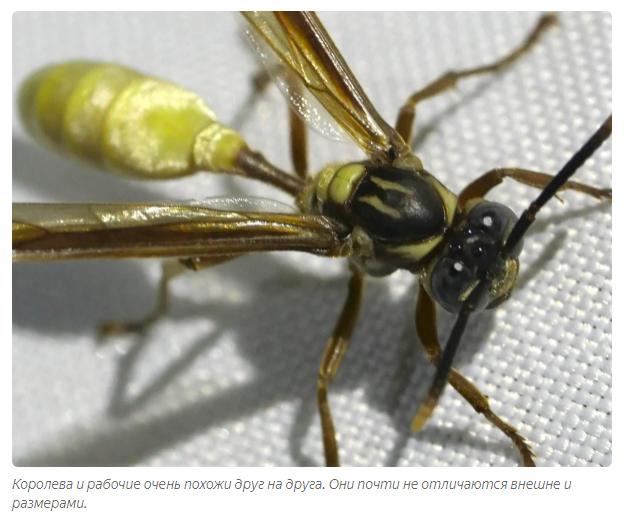 При какой температуре осы засыпают. где зимуют осы, спят ли насекомые в холодный период года? разнообразие ос в природе
