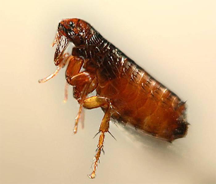 Маленькие жучки кожееды в квартире: как избавиться от вредного насекомого и уничтожить его личинок