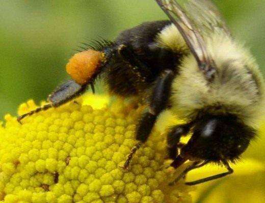 Делают ли шмели мед? описание, фото и видео