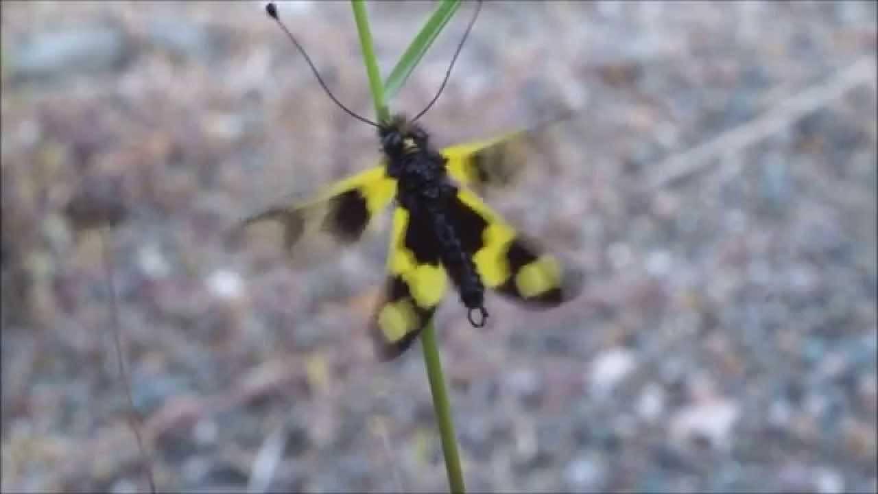 Ascalaphus macaronius
