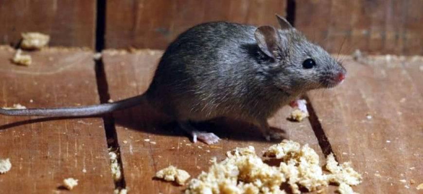 Мыши в доме. как избавиться от мышей