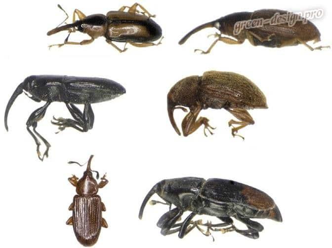 Чем и как обработать лилии от жуков: красных, черных и колорадских?