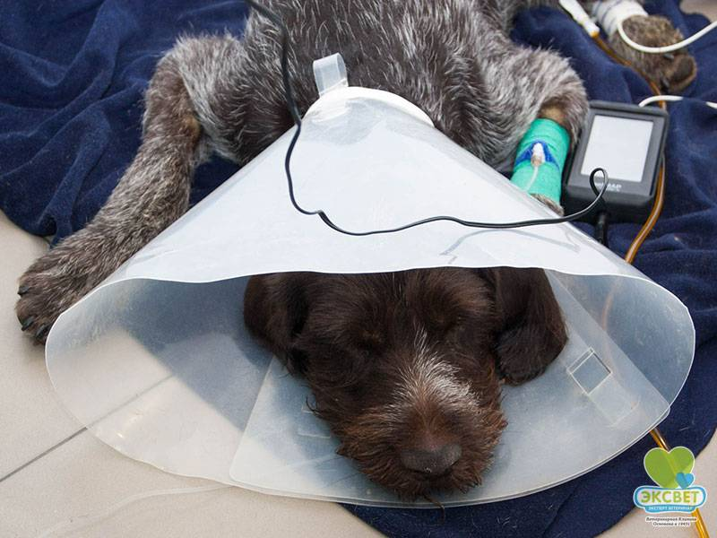 Что делать если собаку укусил клещ?