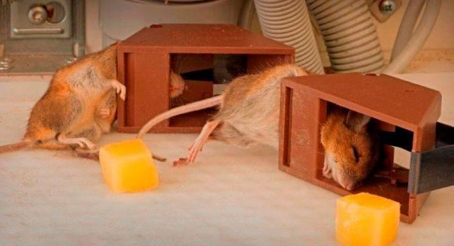 4 вида крысоловок своими руками