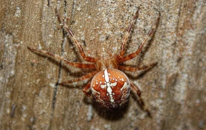 Паук крестовик. образ жизни и среда обитания паука крестовика. что делать если укусил паук-крестовик обыкновенный крестовик