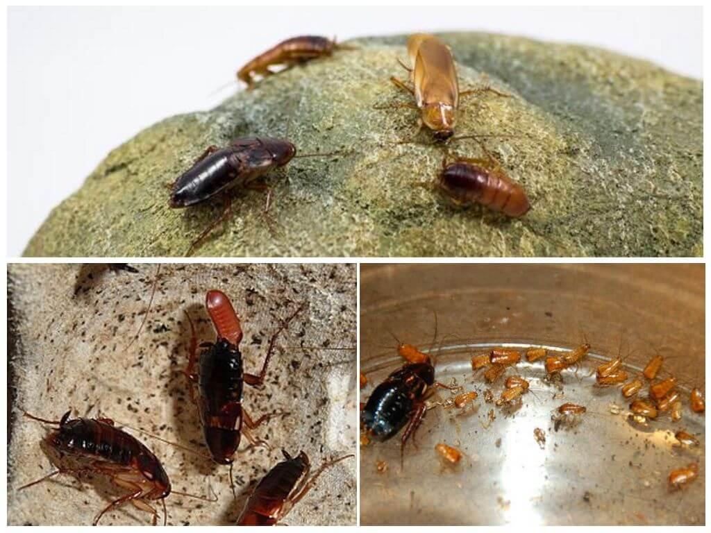 Туркменский таракан содержание и разведение. виды тараканов (разновидности) и экзотические домашние тараканы, фото, видео. райская жизнь: создаем комфортные условия для туркменских тараканов