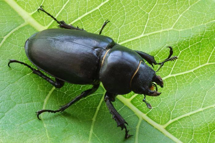К чему снятся жуки