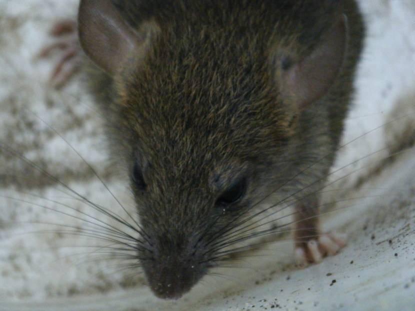 Особенности поведения и внешнего вида домовой мыши