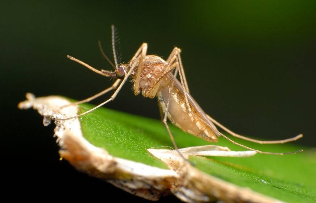 Как отличить москита от комара. чем отличаются комары от москитов