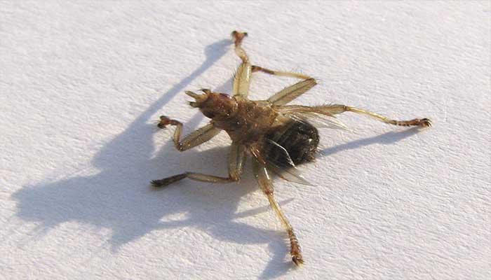 Лосиная блоха опасна ли для человека — как избавиться от них?
