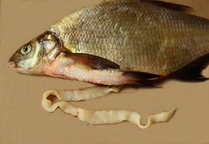 Плотные черви белые крупные в рыбе. могут ли быть глисты в горбуше, кете, семге и другой красной рыбе