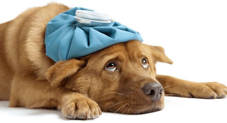 Как вывести блох у собак?