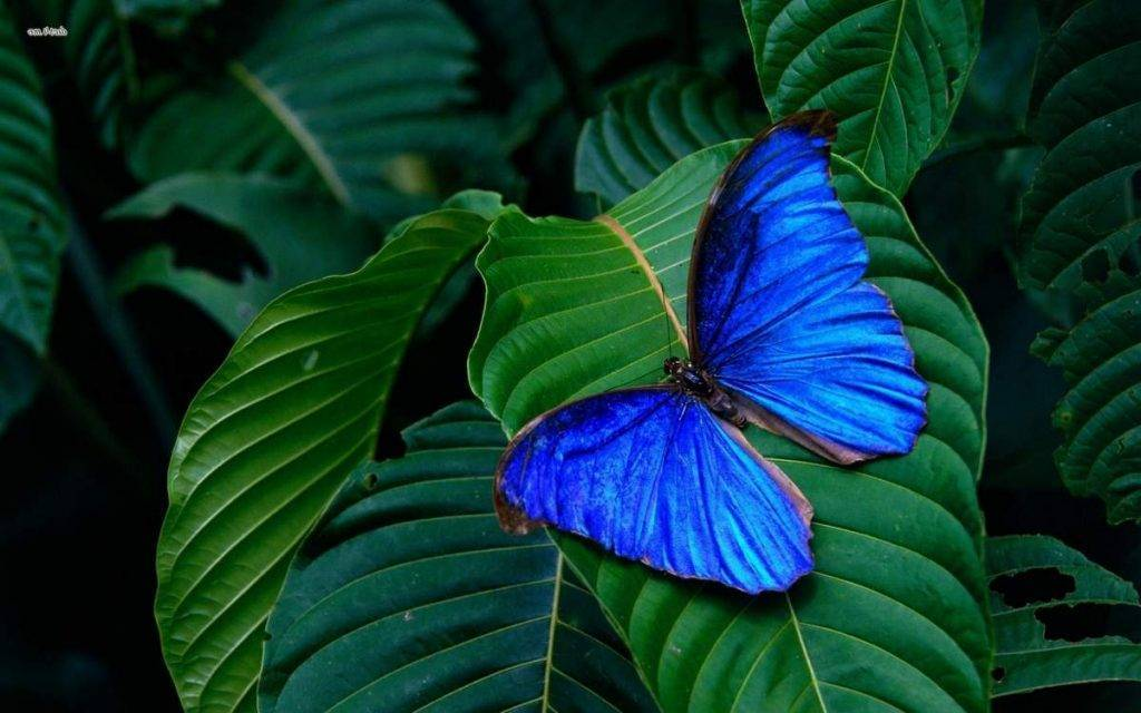 Бабочки тропических лесов южной америки - презентация
