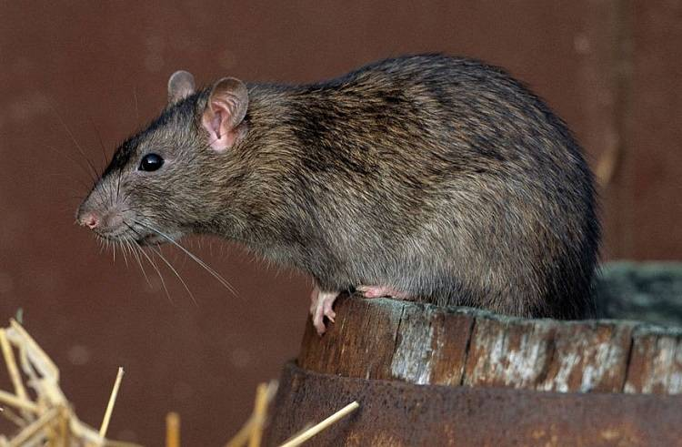 Чем избавиться от крыс в доме народными средствами