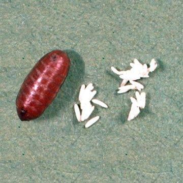 Описание и фото личинок и яиц мух