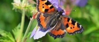Крапивница (бабочка)