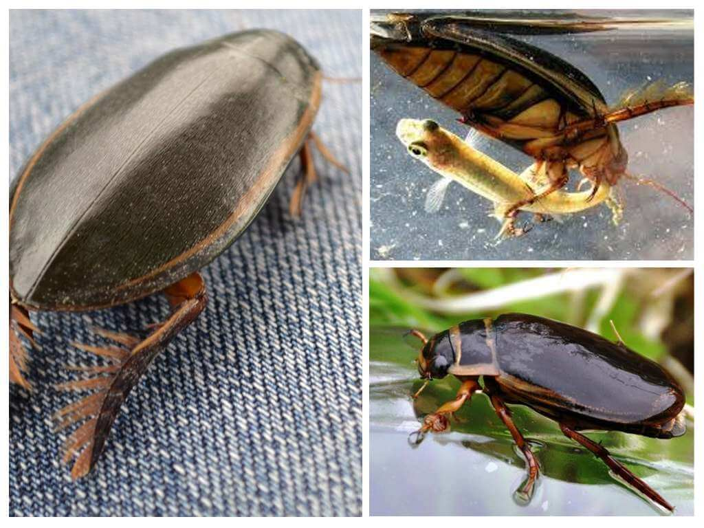 Где обитает жук плавунец