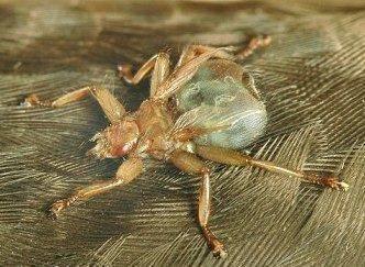 Лосиные клещи опасны для человека. лосиная муха: описание паразита и его опасность. чем опасна лосиная муха