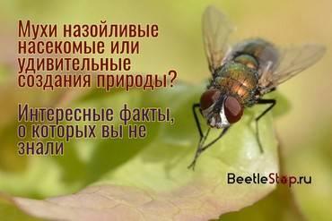 Вишневая муха – главный вредитель вишни и черешни