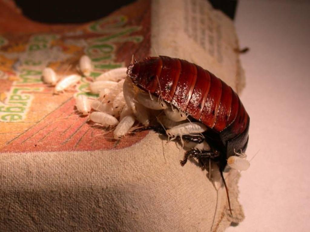 Мадагаскарский таракан: все в подробностях о жизни шипящих насекомых