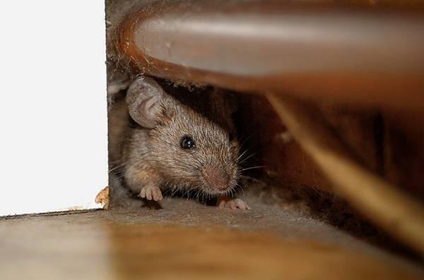 Чего боятся крысы: народные средства, запахи, звук и свет