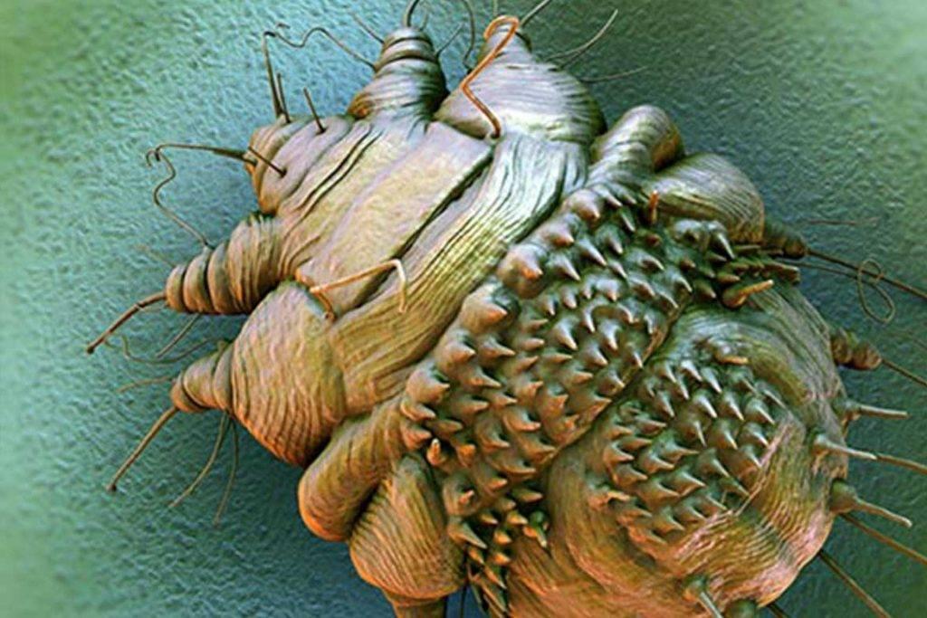 Чесоточный клещ у человека: симптомы, как выглядит, как избавиться и весь жизненный цикл