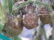 7 способов применения чеснока на даче