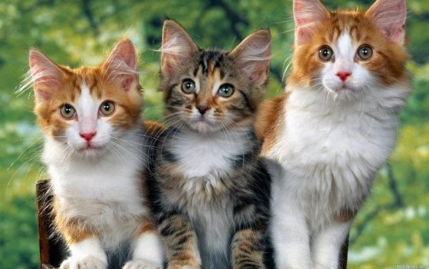 Кусают ли клопы домашних животных, куриц, собак и кошек?