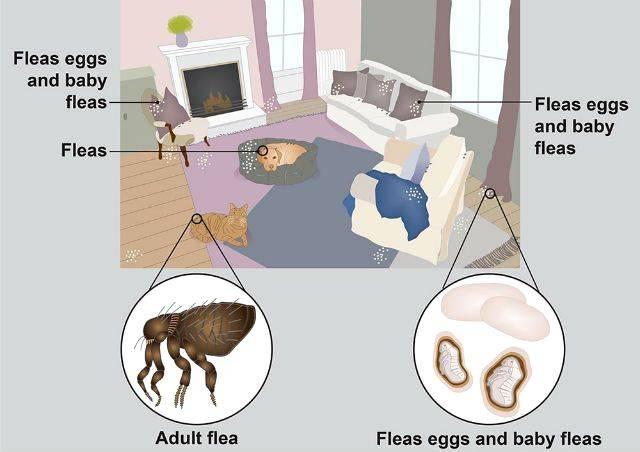С животного на вас или блохи животных на человеке! чем блохи у кошек опасны для людей?