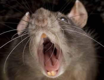 Укус крысы – что делать, как лечить, когда обращаться к врачу