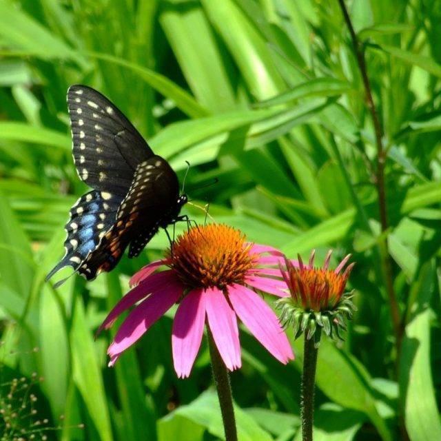 Бабочка многоцветница – сестра близнец крапивницы