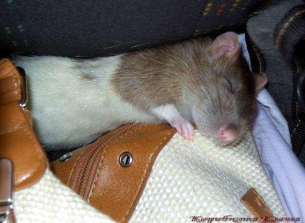 Сколько лет живут домашние и дикие крысы