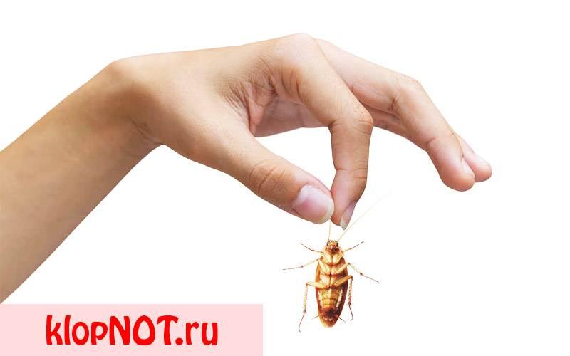 Чем опасны тараканы для человека: распространением микробов, аллергией и укусами
