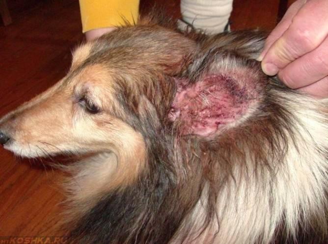 Подкожный клещ у собак (демодекоз). симптомы и лечение