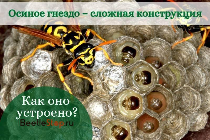 Пелопей обыкновенный: образ жизни роющих ос и особенности построения земляных глиняных гнезд