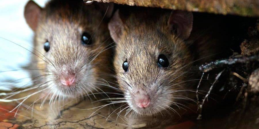 Как уничтожить мышей в частном доме и на даче?